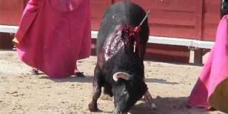 Le taureau qui rentre dans une arène est seulement un bovin… pas un fauve ni un animal sauvage
